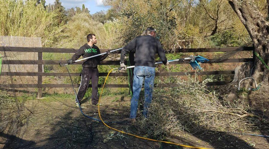 Olivenernte im Honigtal Farmland